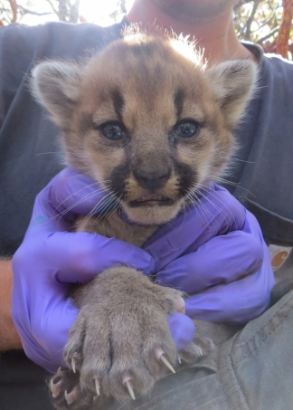 Sean McCain of Hunt Science, Holding a Mountain Lion Kitten