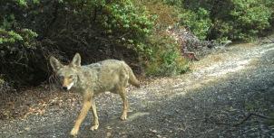 coyote crop