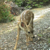 A fawn along the same road as the Coyote photo above. Photo by the author.