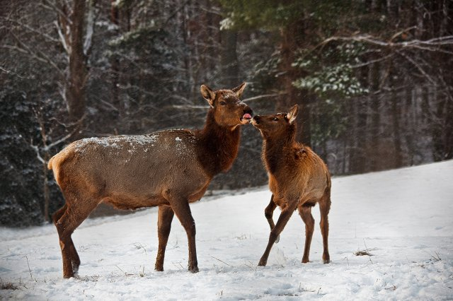 Elk mother and calf.jpg